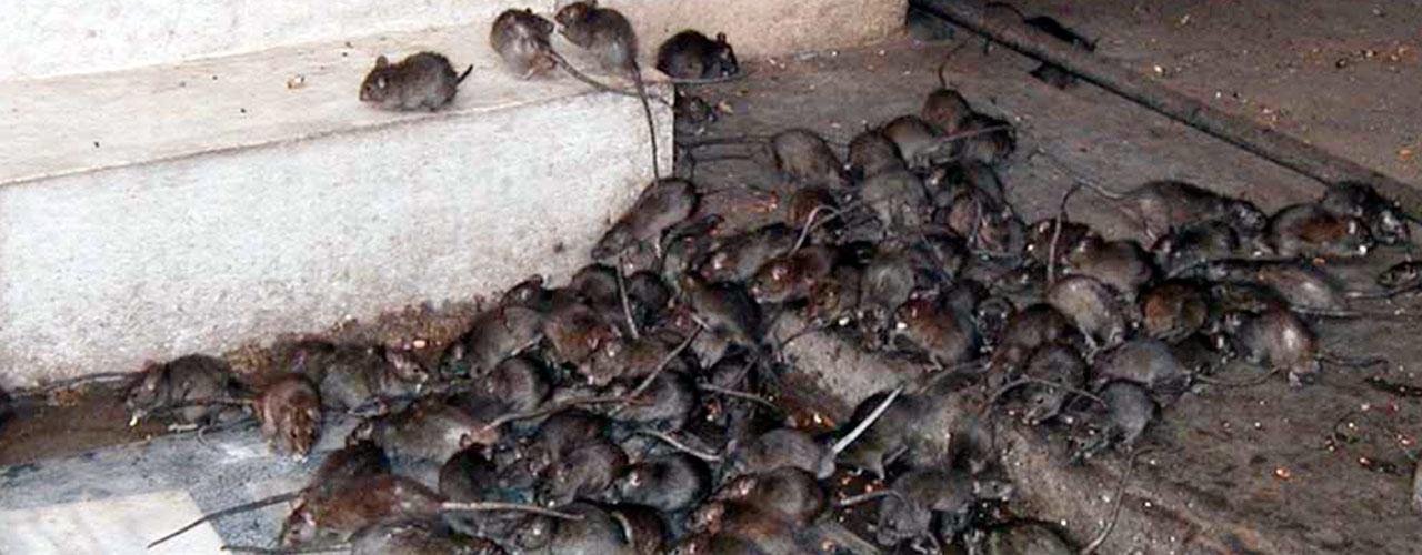 Resultado de imagem para ratos de esgoto